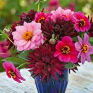 Dahlias for Pots Collection