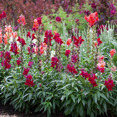 Antirrhinum Collection