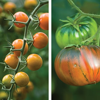 Tomato 'Sungold' and 'Noire de Crimee' Collection