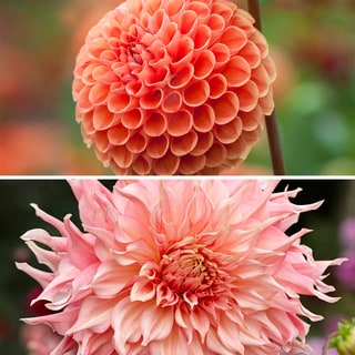 Watermelon Dahlia Collection