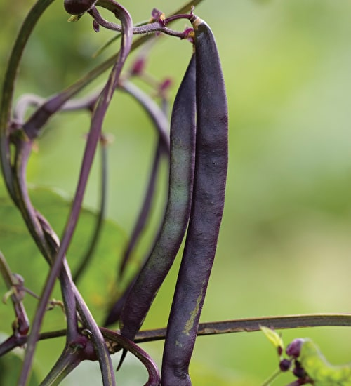 French Bean 'Blauhilde' Climbing