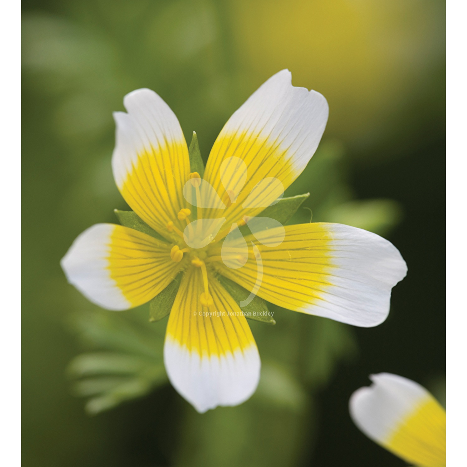 Limnanthes Douglasii Poached Egg Plant