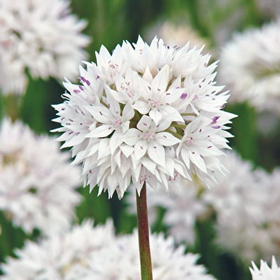 Allium amplectens 'Graceful'