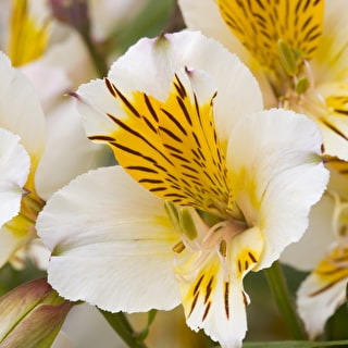 Alstroemeria 'Apollo'