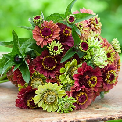 Cranberry and Lime Zinnia Collection