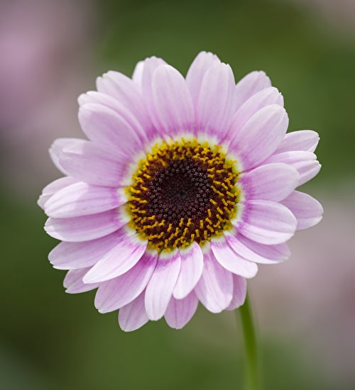 Argyranthemum 'Reflection Pink'