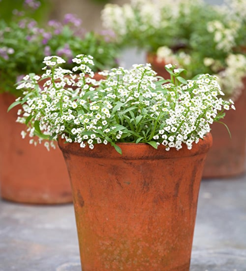 Alyssum 'White Stream'