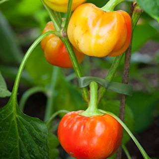 Sweet Pepper 'Alma Paprika'
