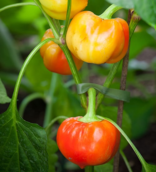 Sweet Pepper Alma Paprika