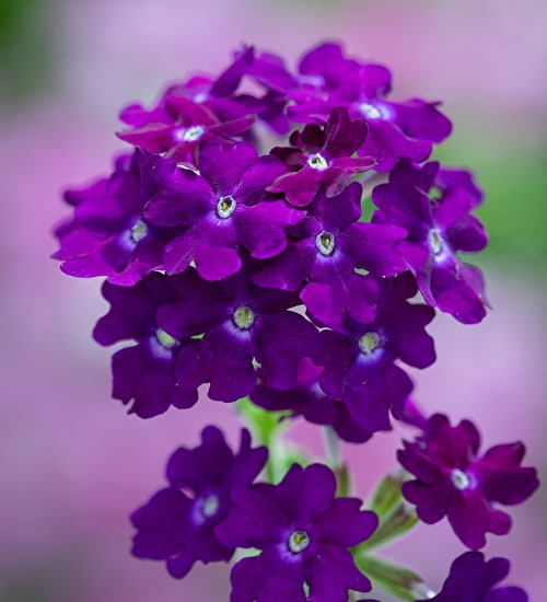 Verbena 'Showboat Midnight'