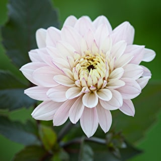 Soft and Dreamy Dahlia Collection