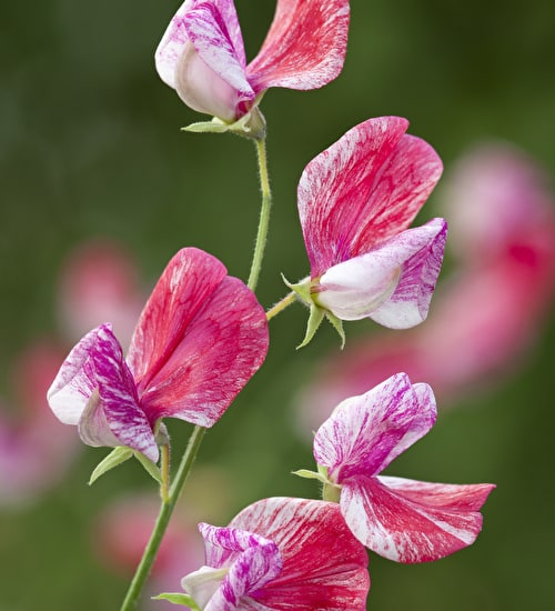 Sweet Pea 'Queen of Isles'