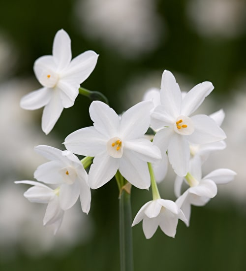 Narcissus Paperwhite 'Ziva' for Forcing