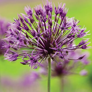 New Allium Collection