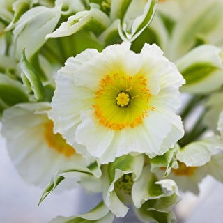 Papaver nudicaule 'Champagne Bubbles' White F1