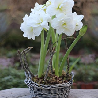 Potted Amaryllis in Willow Basket Gift Set