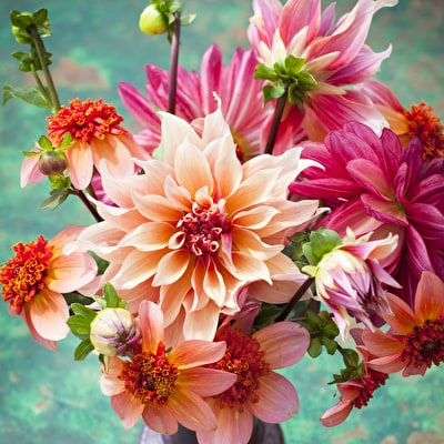 William Morris Dahlia Collection