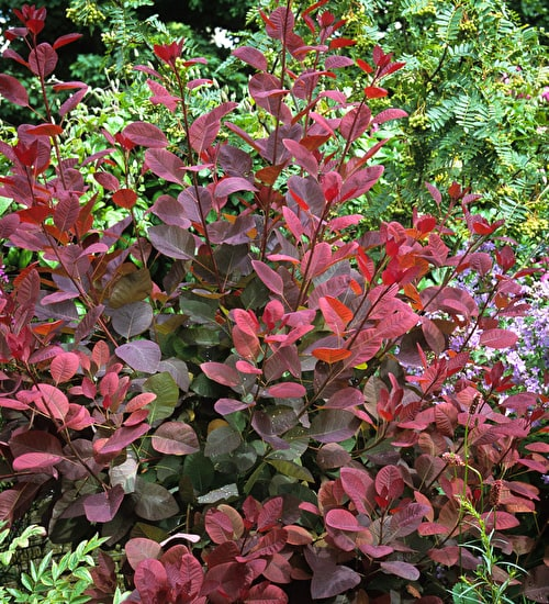 Cotinus 'Ruby Glow'