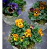 Edible and Antique Viola Collection