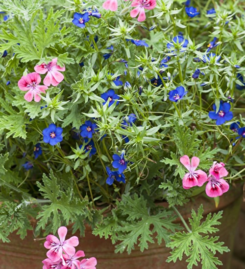 Pelargonium and Anagallis Collection