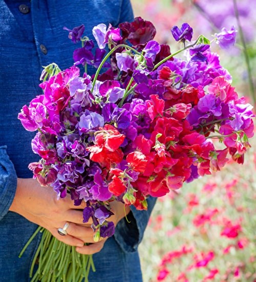 New Giants Sweet Pea Collection