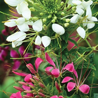 Cleome spinosa 'Colour Mix'
