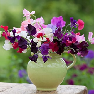 The Ultimate Sweet Pea Collection