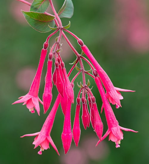 Fuchsia triphylla 'Eruption'