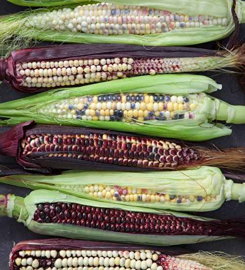 Sweetcorn 'Fiesta' (ornamental)