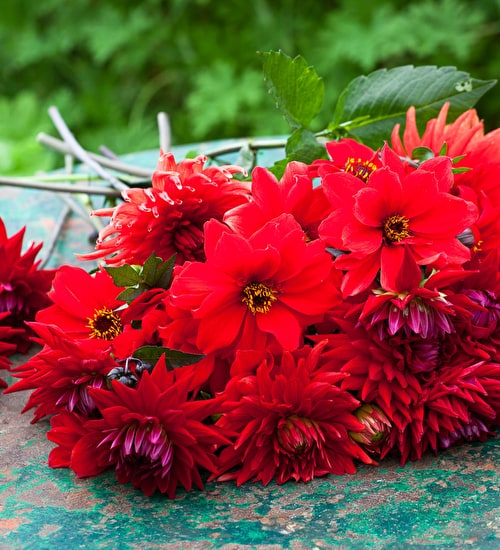Ruby Red Dahlia Collection