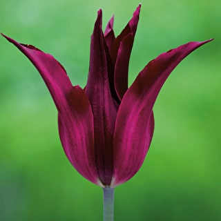 Tulip 'Sarah Raven' and Tulip 'Menton' with Wallflower 'Sunset Purple'