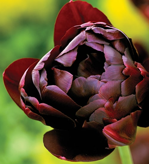 Tulip 'Black Hero'