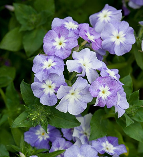 Phlox drummondii 'Lavender Beauty'