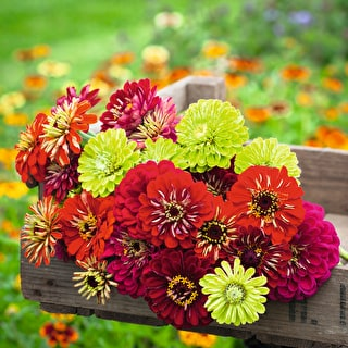 Genoa Benary Zinnia Mix