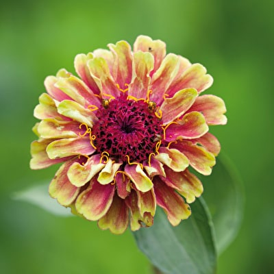 Zinnia elegans 'Queeny Red Lime'