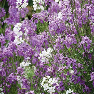 Hesperis 'Colour Mix'